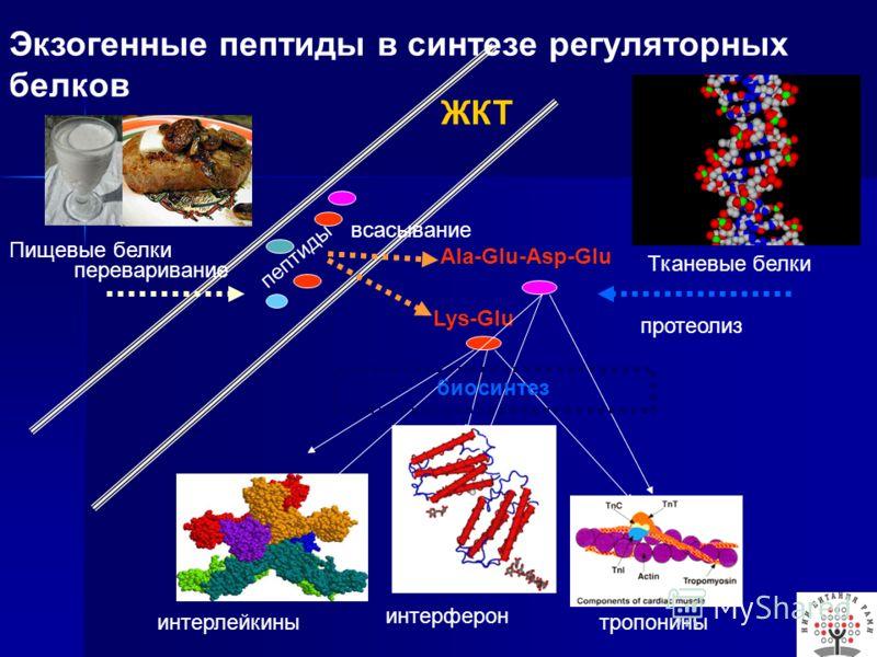 Пищевые белки пептиды Lys-Glu Ala-Glu-Asp-Glu всасывание Тканевые белки переваривание протеолиз интерлейкины интерферон тропонины биосинтез ЖКТ Экзогенные пептиды в синтезе регуляторных белков
