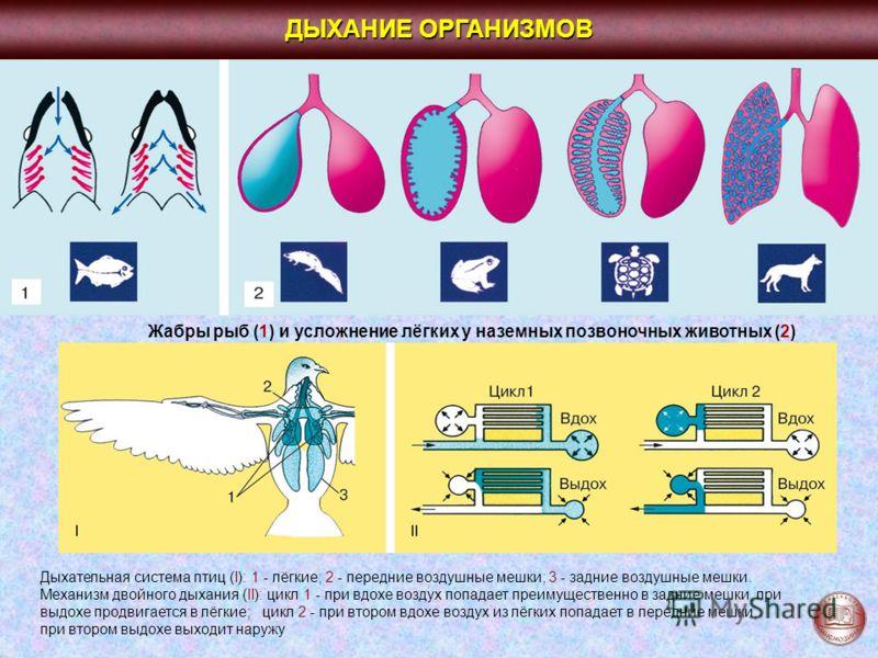 ДЫХАНИЕ ОРГАНИЗМОВ Жабры рыб (1) и усложнение лёгких у наземных позвоночных животных (2) Дыхательная система птиц (I): 1 - лёгкие; 2 - передние воздушные мешки; 3 - задние воздушные мешки. Механизм двойного дыхания (II): цикл 1 - при вдохе воздух поп