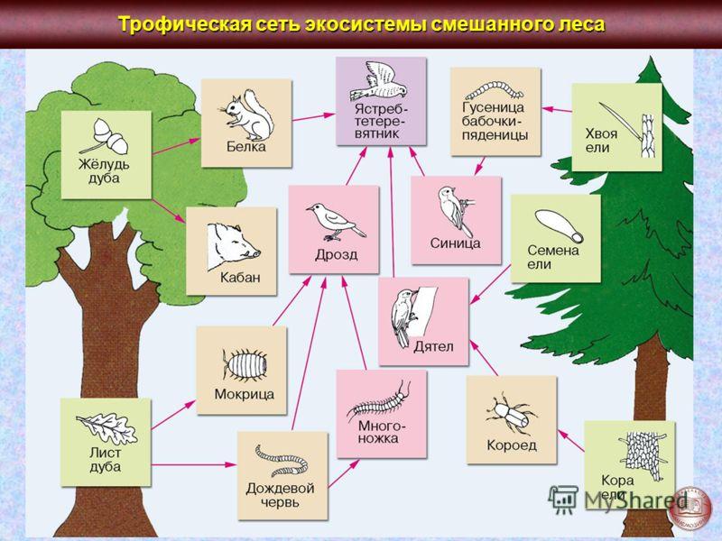 Трофическая сеть экосистемы смешанного леса
