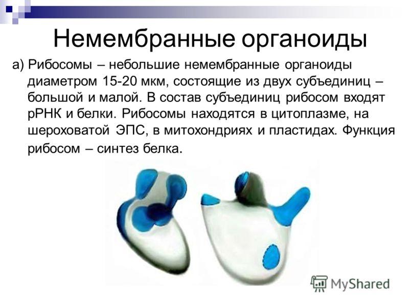 Немембранные органоиды a) Рибосомы – небольшие немембранные органоиды диаметром 15-20 мкм, состоящие из двух субъединиц – большой и малой. В состав субъединиц рибосом входят рРНК и белки. Рибосомы находятся в цитоплазме, на шероховатой ЭПС, в митохон
