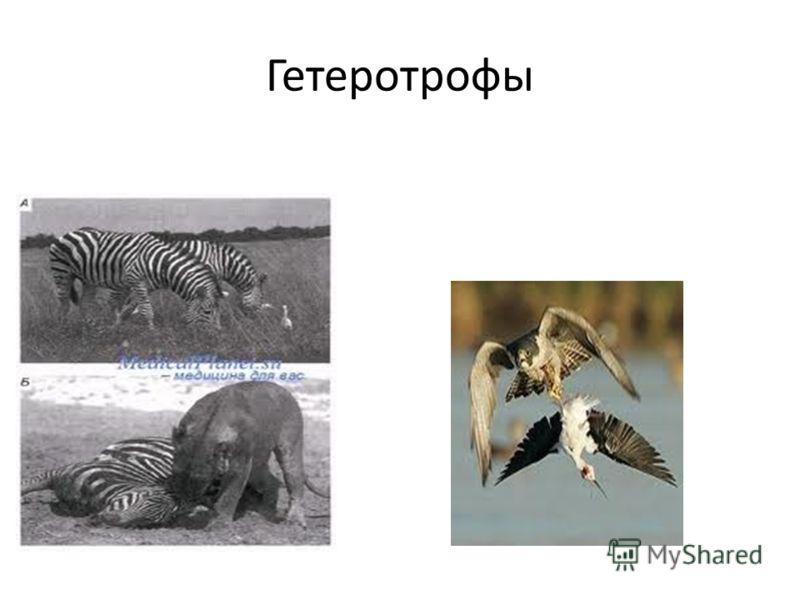 Гетеротрофы
