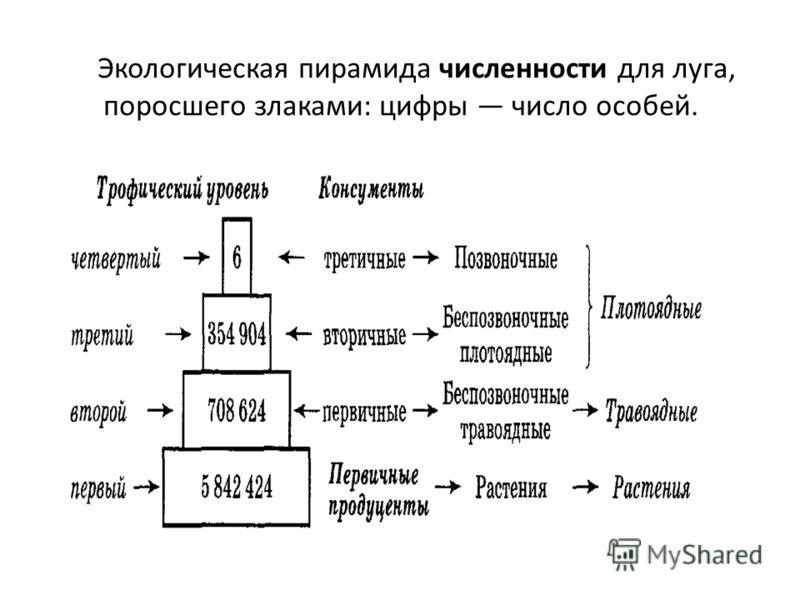 Экологическая пирамида численности для луга, поросшего злаками: цифры число особей.