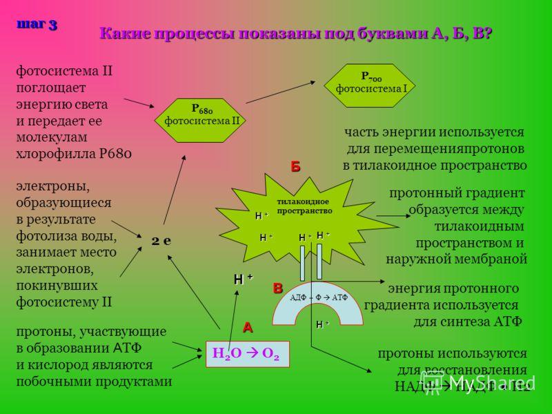 шаг 3 Р 680 фотосистема II Р 700 фотосистема I фотосистема II поглощает энергию света и передает ее молекулам хлорофилла Р680 Какие процессы показаны под буквами А, Б, В? электроны, образующиеся в результате фотолиза воды, занимает место электронов,