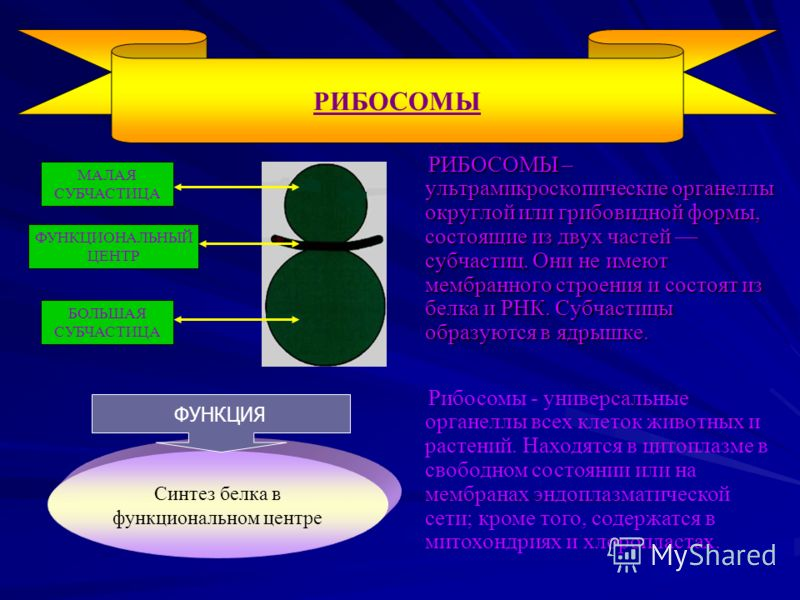 РИБОСОМЫ – ультрамикроскопические органеллы округлой или грибовидной формы, состоящие из двух частей субчастиц. Они не имеют мембранного строения и состоят из белка и РНК. Субчастицы образуются в ядрышке. РИБОСОМЫ – ультрамикроскопические органеллы о