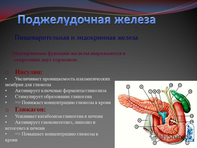 Пищеварительная и эндокринная железа Эндокринные функции железы выражаются в секретции двух гормонов: o Инсулин: Увеличивает проницаемость плазматических мембран для глюкозы Активирует ключевые ферменты гликолиза Стимулирует образование гликогена =>
