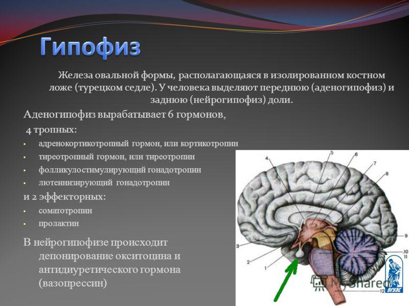 Железа овальной формы, располагающаяся в изолированном костном ложе (турецком седле). У человека выделяют переднюю (аденогипофиз) и заднюю (нейрогипофиз) доли. Аденогипофиз вырабатывает 6 гормонов, 4 тропных: адренокортикотропный гормон, или кортикот