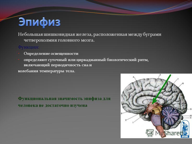 Небольшая шишковидная железа, расположенная между буграми четверохолмия головного мозга. Функции: Определение освещенности определяют суточный или циркадианный биологический ритм, включающий периодичность сна и колебания температуры тела. Функциональ
