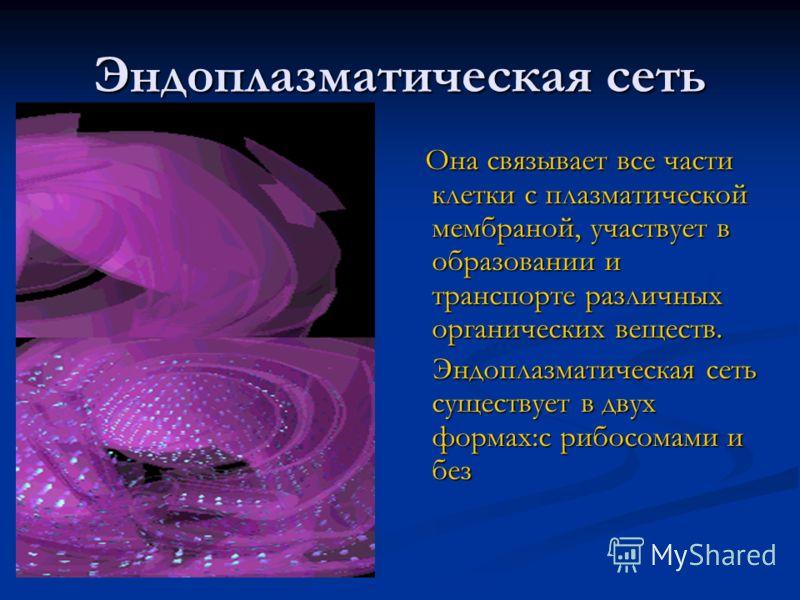 Эндоплазматическая сеть Она связывает все части клетки с плазматической мембраной, участвует в образовании и транспорте различных органических веществ. Эндоплазматическая сеть существует в двух формах:с рибосомами и без