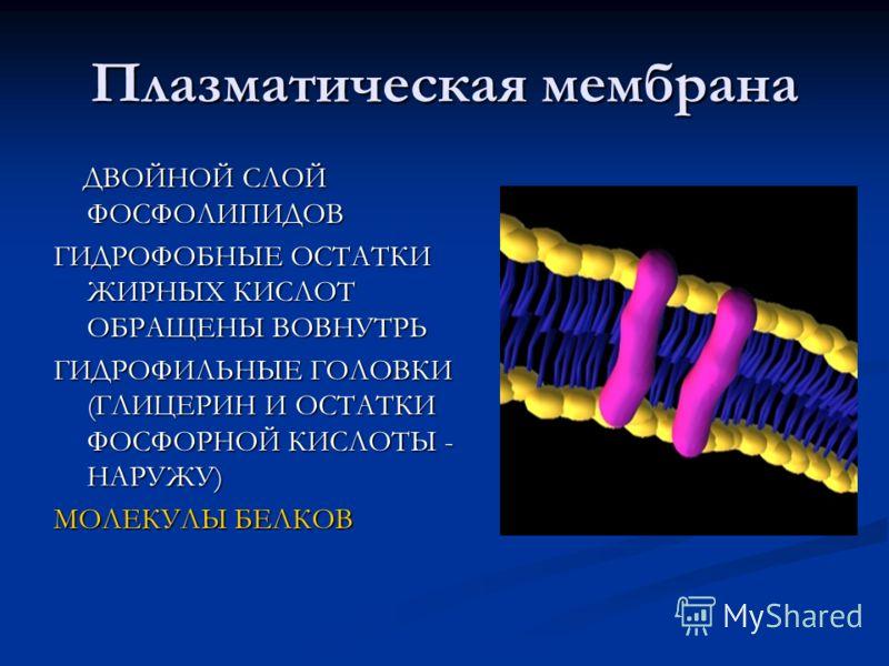 Плазматическая мембрана ДВОЙНОЙ СЛОЙ ФОСФОЛИПИДОВ ДВОЙНОЙ СЛОЙ ФОСФОЛИПИДОВ ГИДРОФОБНЫЕ ОСТАТКИ ЖИРНЫХ КИСЛОТ ОБРАЩЕНЫ ВОВНУТРЬ ГИДРОФИЛЬНЫЕ ГОЛОВКИ (ГЛИЦЕРИН И ОСТАТКИ ФОСФОРНОЙ КИСЛОТЫ - НАРУЖУ) МОЛЕКУЛЫ БЕЛКОВ