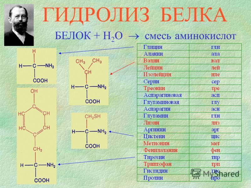 БЕЛОК + H 2 O смесь аминокислот ГИДРОЛИЗ БЕЛКА