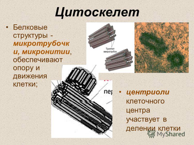 Цитоскелет Белковые структуры - микротрубочк и, микронитии, обеспечивают опору и движения клетки; центриоли клеточного центра участвует в делении клетки
