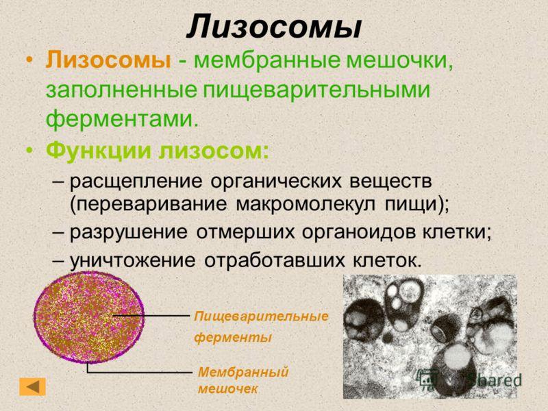 Лизосомы Лизосомы - мембранные мешочки, заполненные пищеварительными ферментами. Функции лизосом: –расщепление органических веществ (переваривание макромолекул пищи); –разрушение отмерших органоидов клетки; –уничтожение отработавших клеток. Пищеварит