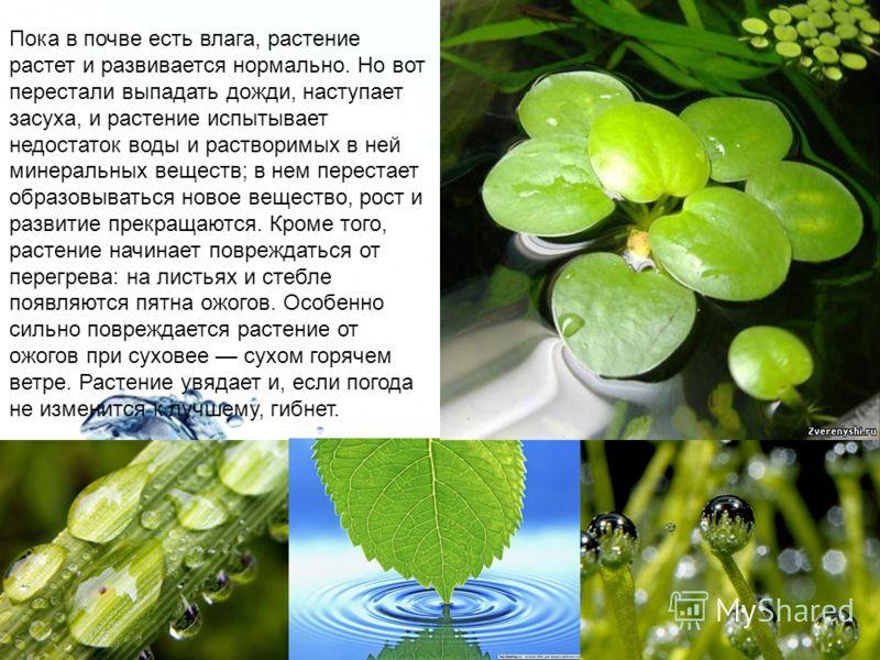 Page 18 Пока в почве есть влага, растение растет и развивается нормально. Но вот перестали выпадать дожди, наступает засуха, и растение испытывает недостаток воды и растворимых в ней минеральных веществ; в нем перестает образовываться новое вещество,
