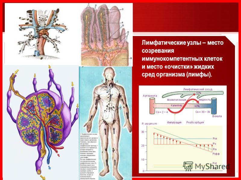Лимфатические узлы – место созревания иммунокомпетентных клеток и место «очистки» жидких сред организма (лимфы).