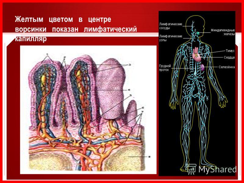 Желтым цветом в центре ворсинки показан лимфатический капилляр