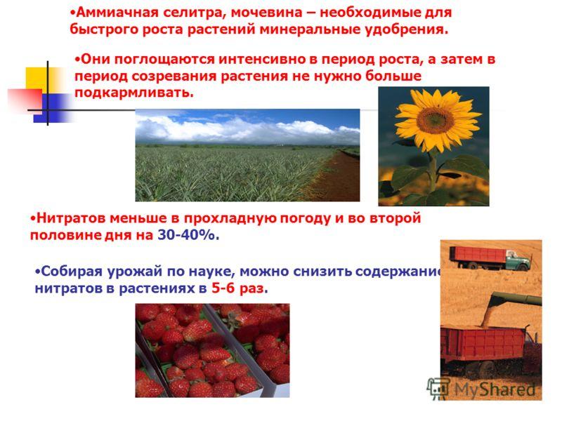 Аммиачная селитра, мочевина – необходимые для быстрого роста растений минеральные удобрения. Они поглощаются интенсивно в период роста, а затем в период созревания растения не нужно больше подкармливать. Нитратов меньше в прохладную погоду и во второ