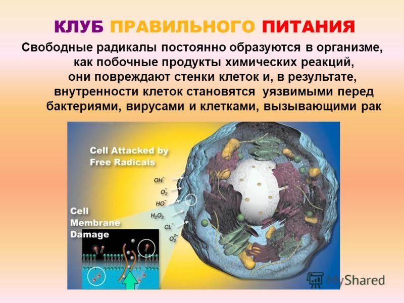Свободные радикалы постоянно образуются в организме, как побочные продукты химических реакций, они повреждают стенки клеток и, в результате, внутренности клеток становятся уязвимыми перед бактериями, вирусами и клетками, вызывающими рак КЛУБ ПРАВИЛЬН