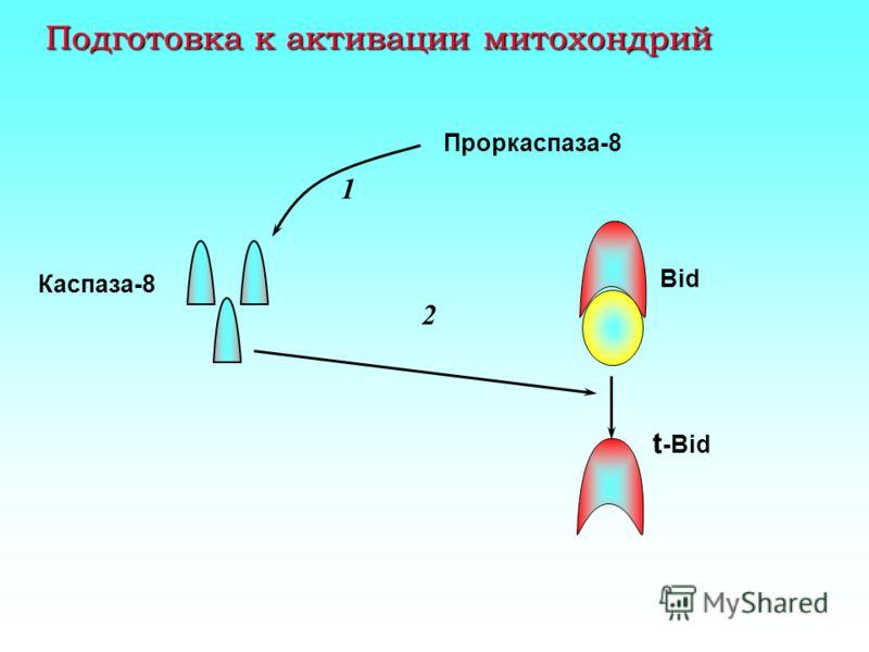 Мембранная фаза апоптоза: связывание прокаспазы 8 CD95 FADD Прокаспаза-8 CD95L
