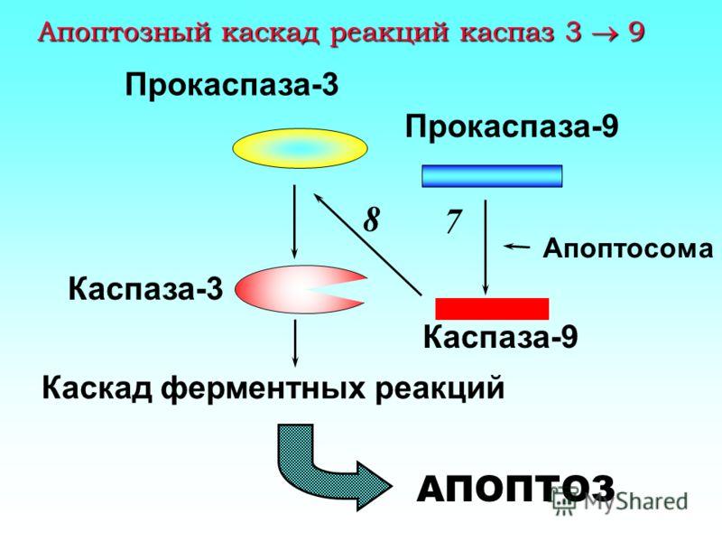 Выход цитохрома с из митохондрий 3 Повреждение ДНК p53 Bax 4 t -Bid AIF Cyt c 5 Bcl-x L Bcl-2