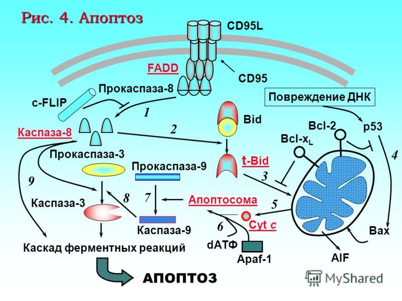Апоптоз, вызываемый активными формами кислорода