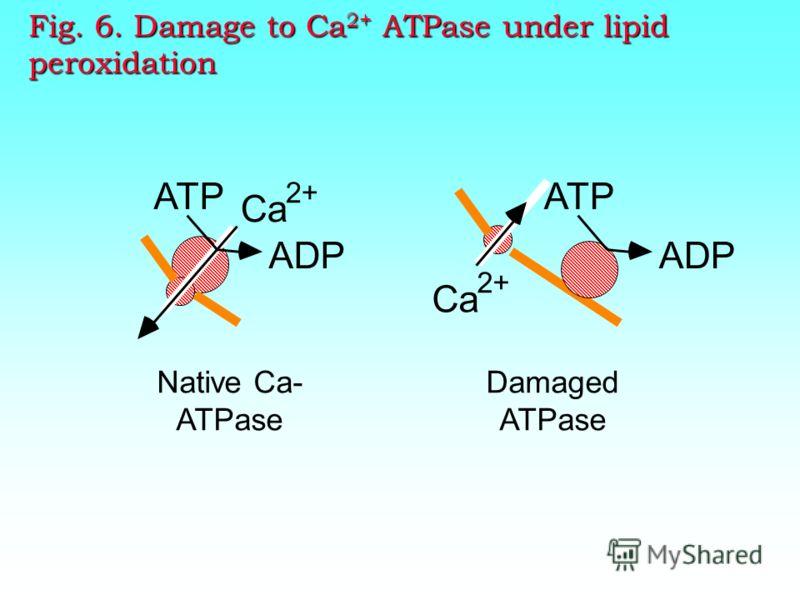 VDAC HK CK BPR Cph. D Intermembra ne space Inner membrane Outer membrane Matrix Atractulosid e Ca2+, Bax, ROS Циклосполрин А Water solutes Bongkrecic acid, ATP ААА Permeability transition pore