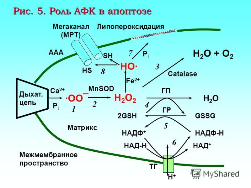 Са-АТФаза Ca 2+ Мембрана