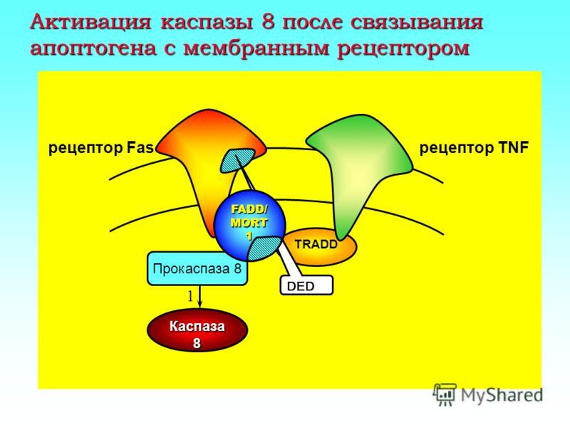 Немитохондриальный путь активации апоптоза FADD / MORT1 DED TRADD DD [49] [50,51] [46] TNF receptor Fas receptor [52] Caspase-8 (Active) [53,54] Procaspase-1 Procaspase-8 Caspase-1 Apoptotic cascade FADD/MORT1- receptor associated protein DED- death
