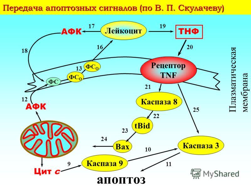 Апоптоз CD95L CD95 FADD Прокаспаза-8 c-FLIP Bcl-2 Bcl-x L Каспаза-8 1 t -Bid t -Bid Bid 2 3 Прокаспаза-9 Каспаза-9 7 Повреждение ДНК p53 Bax 4 dАТФ AIF Cyt cCyt c Apaf-1 Апоптосома 5 6 9 Каскад ферментных реакций Прокаспаза-3 Каспаза-3 8 АПОПТОЗ