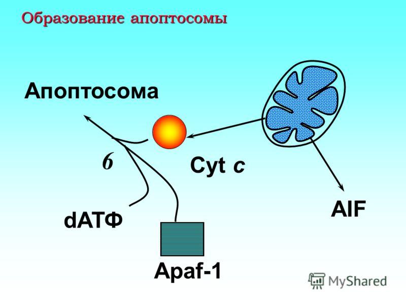 Каскад активации апоптоза, инициированный выходом цитохрома c каспаза 9 прокаспаза 9 +dATP 4 5 прокаспаза 3 каспаза 3 6 АПОПТОЗ 8 7 Активация белков- апоптогенов и инактивация ферментов репарации ДНК 1 2 Cyt c 3 Apaf 1
