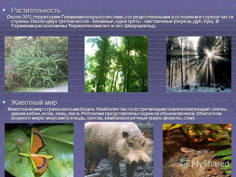 Растительность Растительность Около 30% территории Германии покрыто лесами, сосредоточенными в основном в горной части страны. Около двух третей лесов - хвойные, одна треть - лиственные (береза, дуб, бук). В Германии расположены Тюрингенский лес и ле
