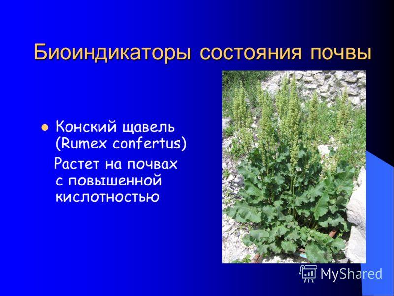 Биоиндикаторы состояния почвы Конский щавель (Rumex confertus) Растет на почвах с повышенной кислотностью