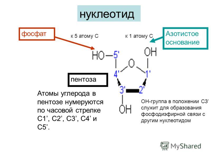 фосфат Азотистое основание ОН-группа в положении С3 служит для образования фосфодиэфирной связи с другим нуклеотидом пентоза нуклеотид Атомы углерода в пентозе нумеруются по часовой стрелке С1, C2, C3, C4 и C5. к 5 атому Ск 1 атому С