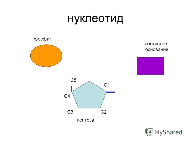 нуклеотид С1 С2С3 С4 С5 фосфат азотистое основание пентоза