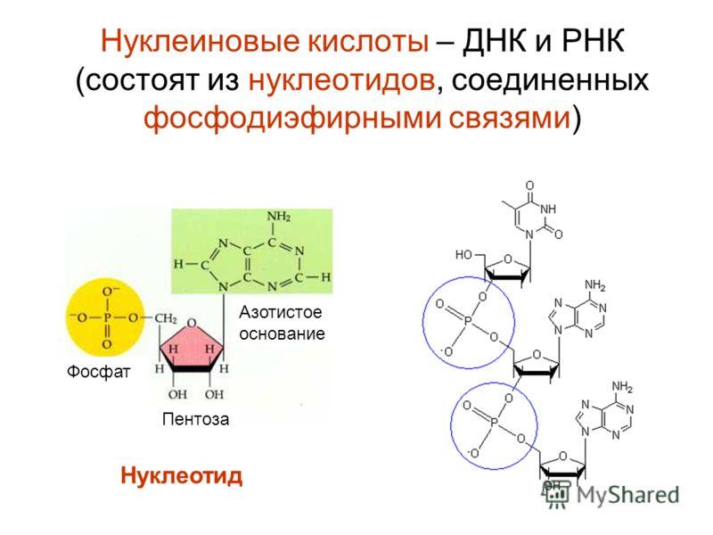 Нуклеиновые кислоты – ДНК и РНК (состоят из нуклеотидов, соединенных фосфодиэфирными связями) Фосфат Пентоза Азотистое основание Нуклеотид