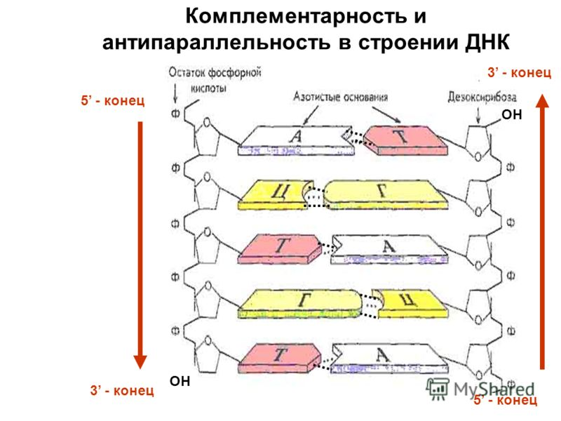 OH 5 - конец 3 - конец Комплементарность и антипараллельность в строении ДНК
