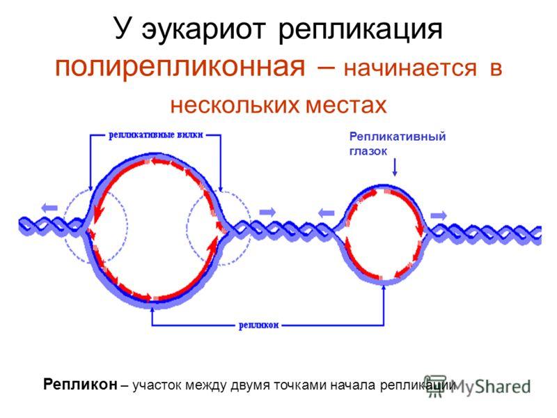 У эукариот репликация полирепликонная – начинается в нескольких местах Репликативный глазок Репликон – участок между двумя точками начала репликации
