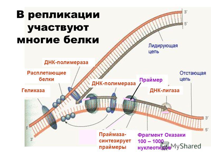 Праймаза- синтезирует праймеры Геликаза Фрагмент Оказаки 100 – 1000 нуклеотидов ДНК-лигаза Праймер ДНК-полимераза Расплетающие белки ДНК-полимераза В репликации участвуют многие белки