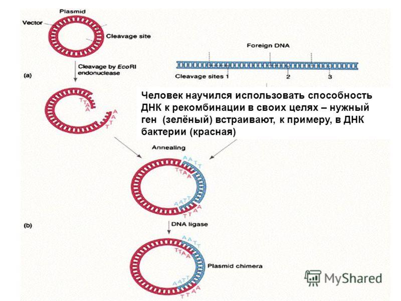 Человек научился использовать способность ДНК к рекомбинации в своих целях – нужный ген (зелёный) встраивают, к примеру, в ДНК бактерии (красная)