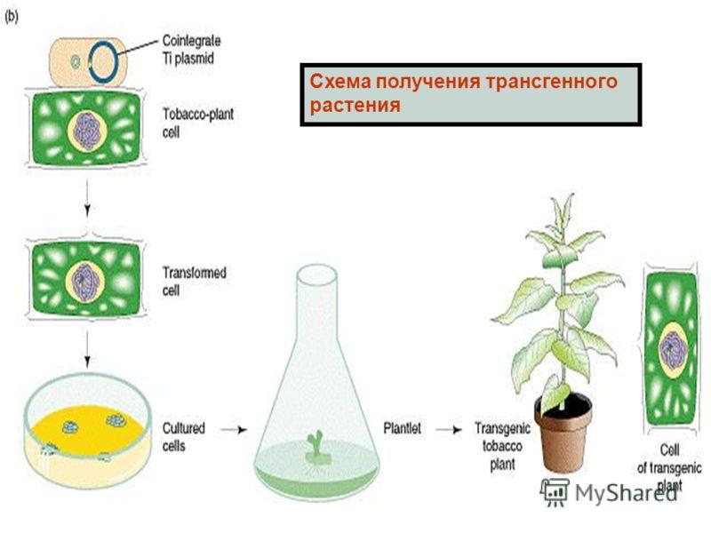 Схема получения трансгенного растения