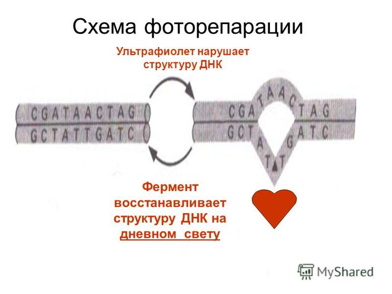 Схема фоторепарации Ультрафиолет нарушает структуру ДНК Фермент восстанавливает структуру ДНК на дневном свету