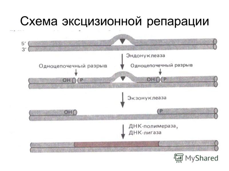 Схема эксцизионной репарации