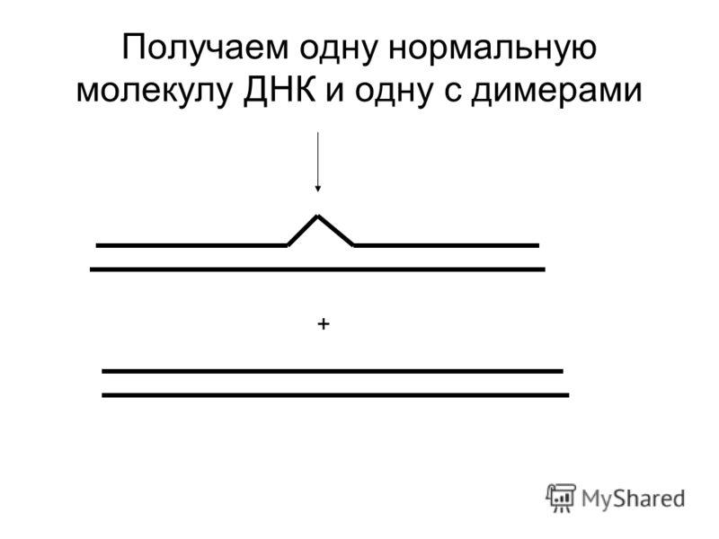 Получаем одну нормальную молекулу ДНК и одну с димерами +