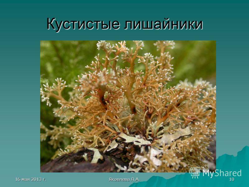 16 мая 2013 г.16 мая 2013 г.16 мая 2013 г.16 мая 2013 г. Яковлева Л.А. 10 Кустистые лишайники