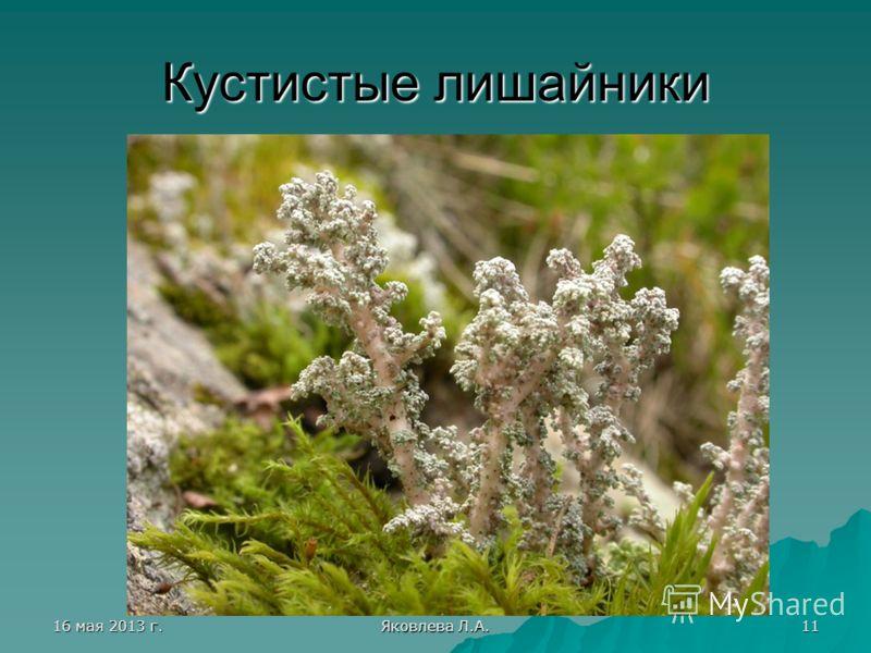 16 мая 2013 г.16 мая 2013 г.16 мая 2013 г.16 мая 2013 г. Яковлева Л.А. 11 Кустистые лишайники