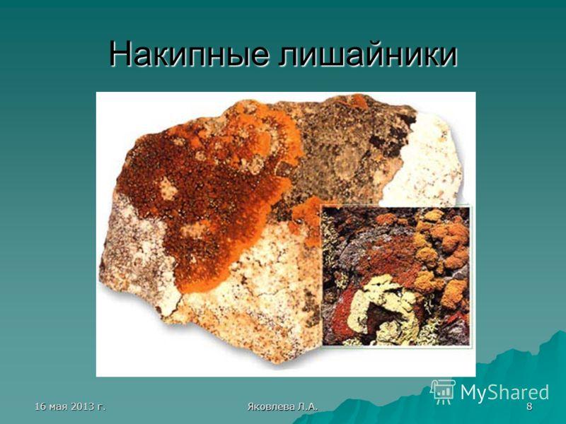 16 мая 2013 г.16 мая 2013 г.16 мая 2013 г.16 мая 2013 г. Яковлева Л.А. 8 Накипные лишайники
