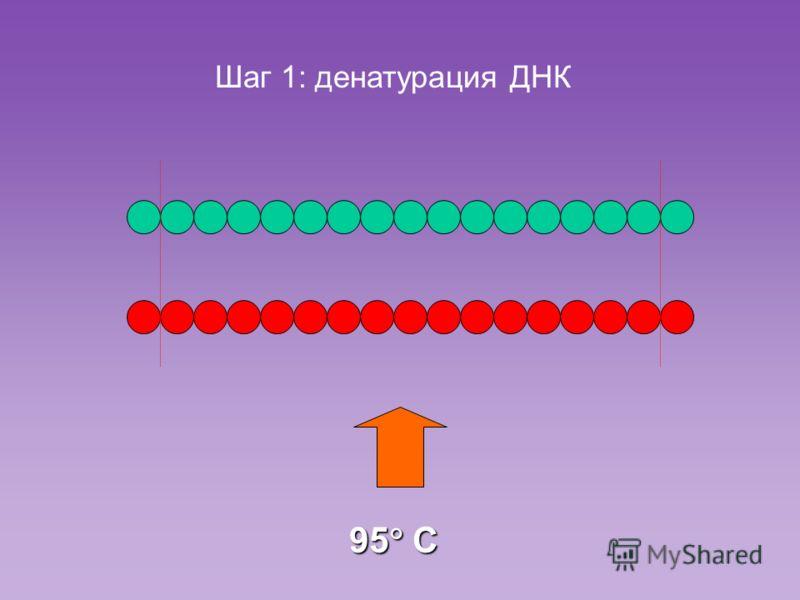 95 C Шаг 1: денатурация ДНК
