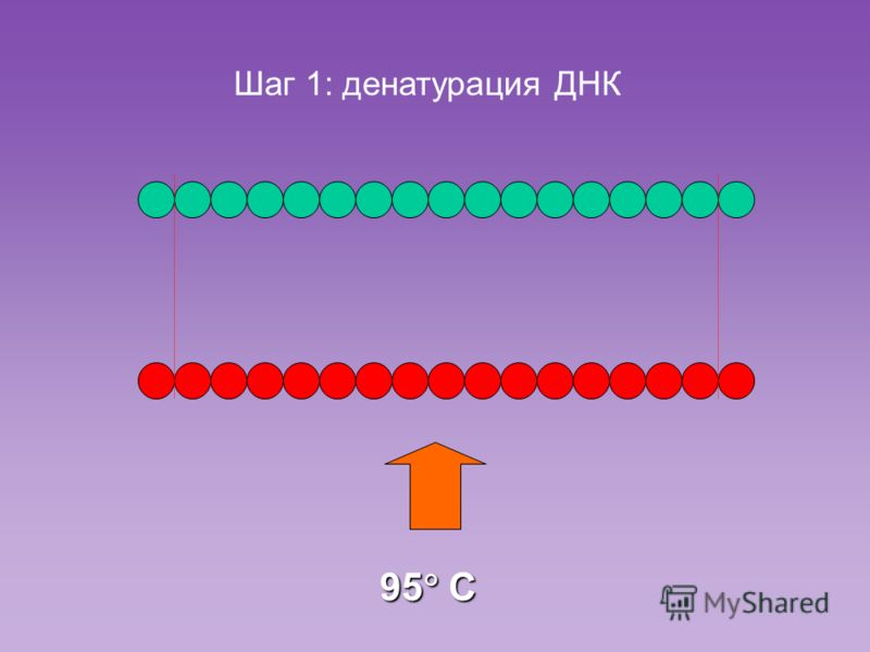 Шаг 1: денатурация ДНК