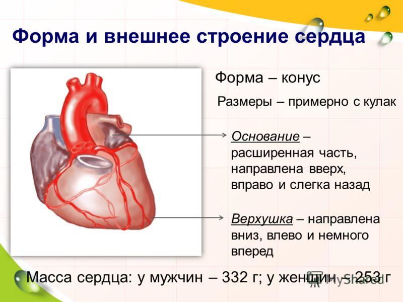 Форма и внешнее строение сердца Форма – конус Размеры – примерно с кулак Верхушка – направлена вниз, влево и немного вперед Основание – расширенная часть, направлена вверх, вправо и слегка назад Масса сердца: у мужчин – 332 г; у женщин – 253 г