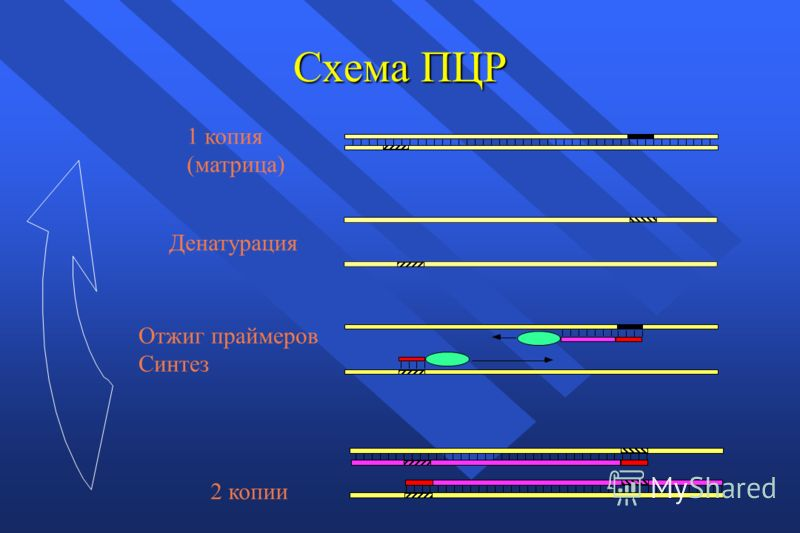Схема ПЦР Денатурация Отжиг праймеров Синтез 1 копия (матрица) 2 копии