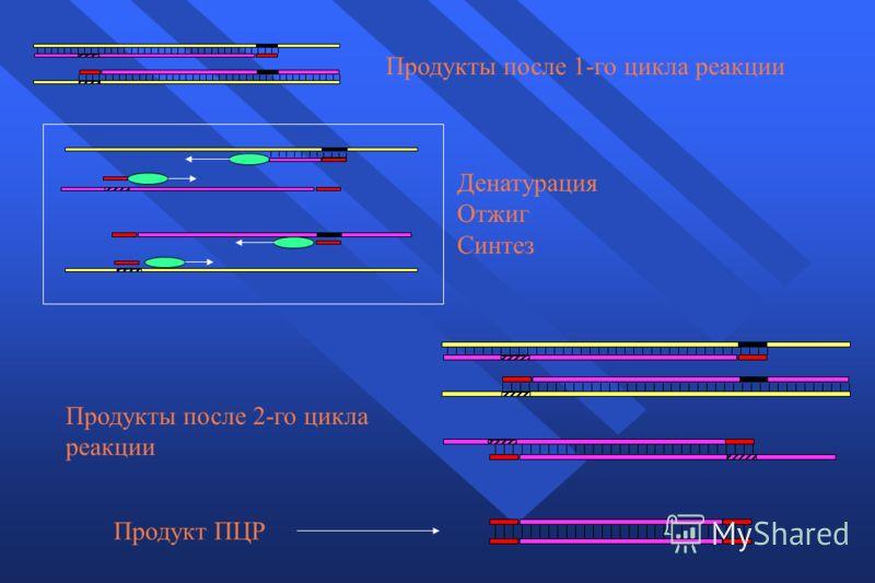 Продукт ПЦР Денатурация Отжиг Синтез Продукты после 1-го цикла реакции Продукты после 2-го цикла реакции